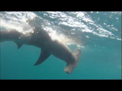 Hammerhead Shark 20 miles offshore