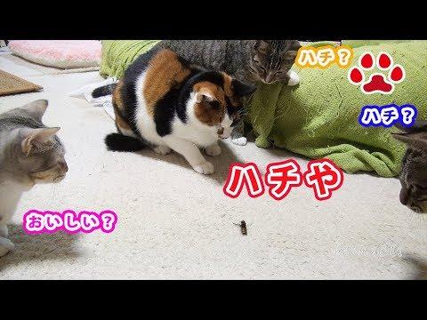 猫部屋に蜂が現れた Bees came in the cat room