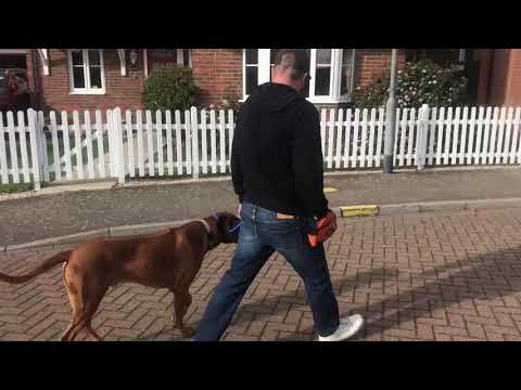 INFORMATIVE VIDEO FOR DOG REACTIVE DOGS, ft a handsome Rhodesian Ridgeback