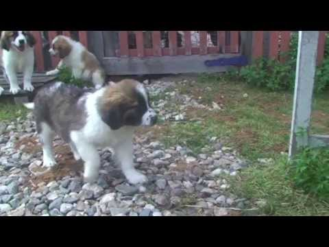 Московская сторожевая фото собаки, краткая характеристика