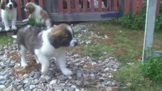 видео щенок косолапит что делать
