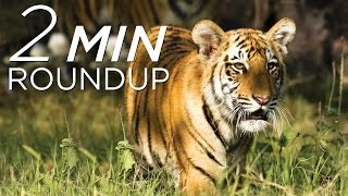 Tigers in trouble, lyrebird lasers & why an anaconda won