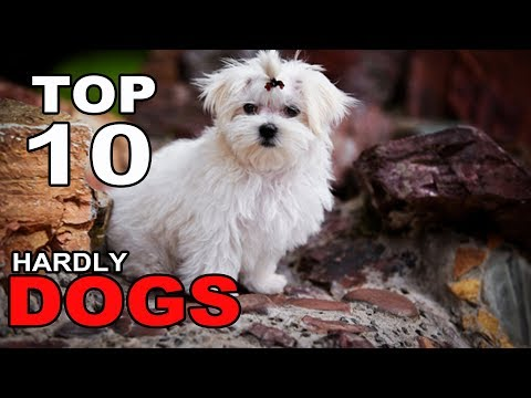 Top 10 Dog Breeds That Hardly Shed At All