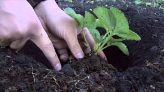 Правильная посадка клубники(Посадка земляники садовой на первый взгляд простой процесс. Но важно посадить клубнику правильно! Хотя..., 2012-10-18T23:14:16.000Z)