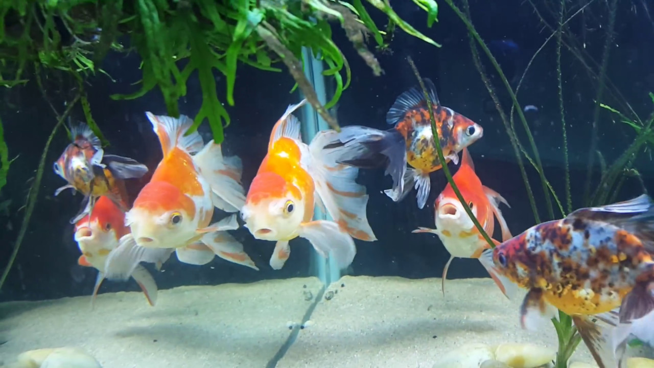 145 gallon tank fancy goldfish mix ryukin fantails for Fancy fish tanks