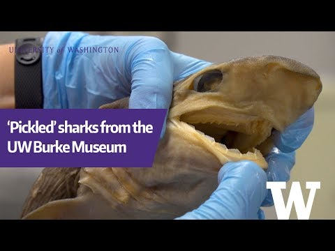 'Pickled' Sharks From The UW Burke Museum Fish Collection
