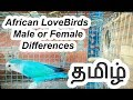 African LoveBirds  Male or Female Differences in Tamil ( தமிழ் )