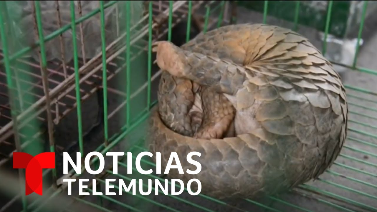 El pangolín, posible animal que podría haber transmitido el coronavirus | Noticias Telemundo