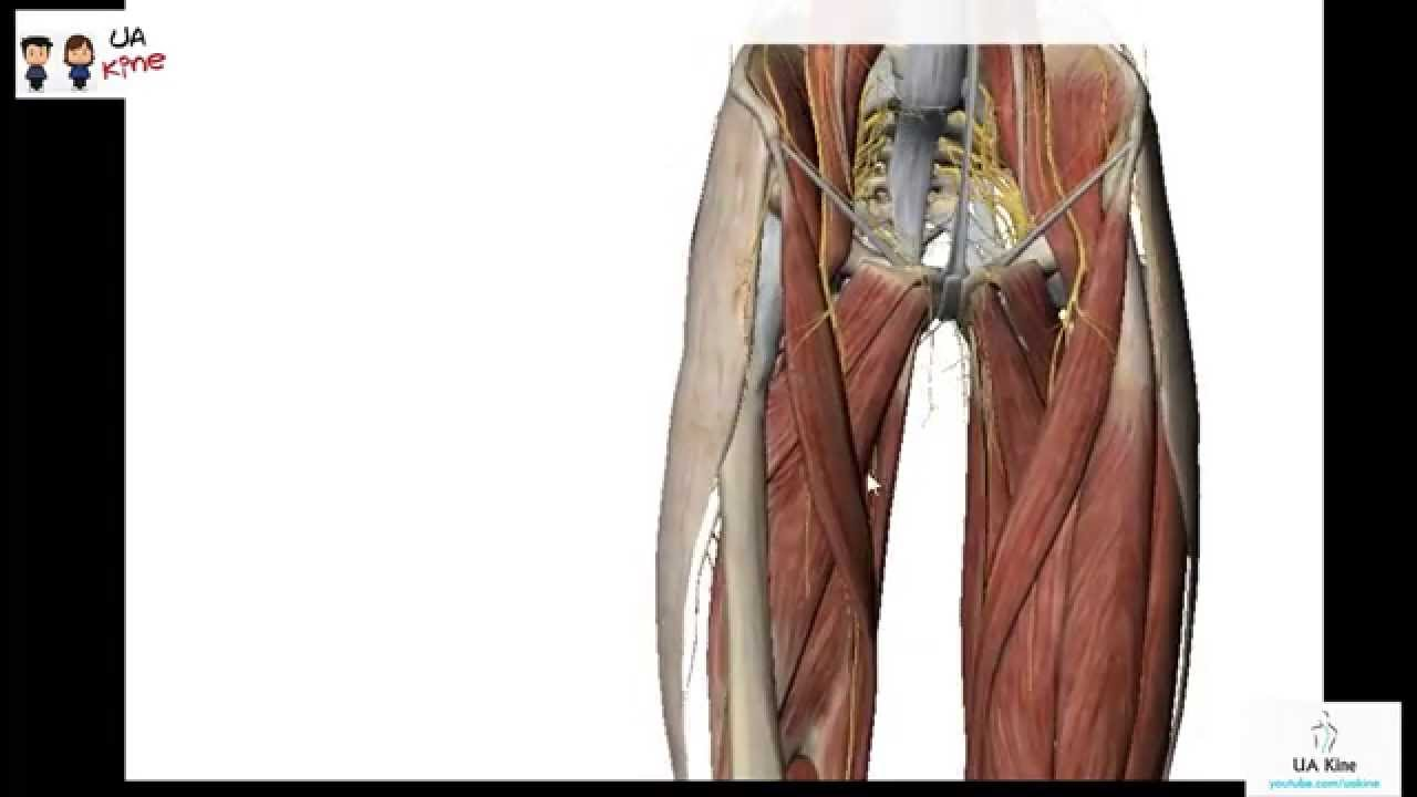 Anatomía de Muslo , Origen, Inserción, Inervación y Función - YouTube