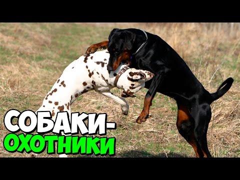 ТОП 7 ЛУЧШИХ СОБАК–ОХОТНИКОВ // MegaShow TV
