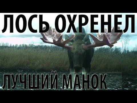 Лось охренел. Идеальный манок на лося.The perfect decoy for elk