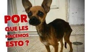 Rescate de perrita hambrienta y discriminada, Prefería no comer por miedo a los humanos #rescata
