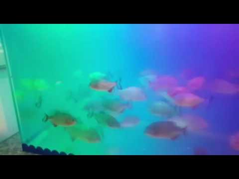 Piranha Indonesia Aquarium