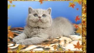Британские голубые и лиловые котята