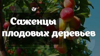 видео Вишня. Продажа и посадка саженцев вишни. Описание, посадка, уход. Прайс-лист на плодовые деревья и кустарники
