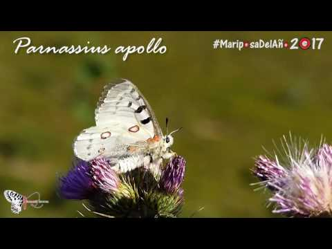 Parnassius apollo - Mariposa del Año 2017
