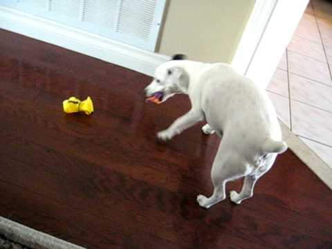 The Jack Russell Toy Dilemma
