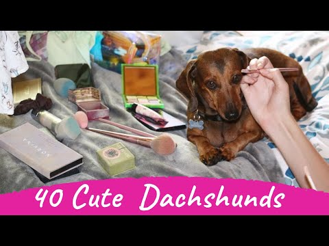 40 Cute and Funny Dachshund Videos Instagram Compilation | Try Not To Laugh Sausage Dogs Videos