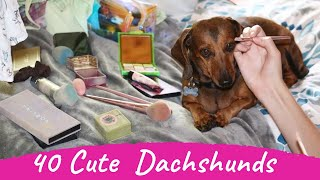 40 Cute and Funny Dachshund Videos Instagram Compilation | TryNotToLaugh Sausage Dogs