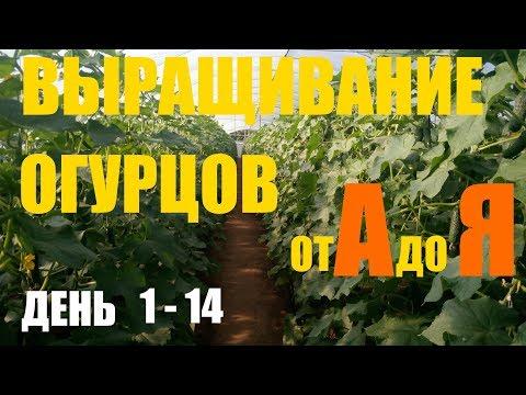 Выращивание огурцов (2й оборот)  День 1 - 14