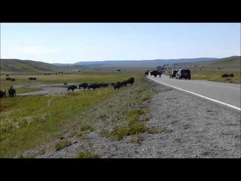 2013 road trip; Yellowstone bison