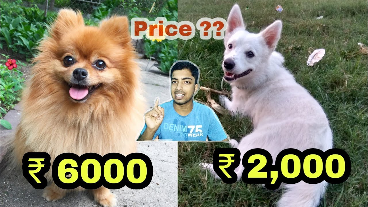 Pomeranian Dog Price And Types By