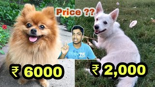 White Pomeranian Dog Price
