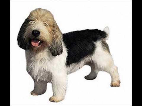 Petit Basset Griffon Vendeen ~ Puppies For Sale, By Pets4You.com