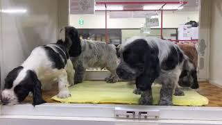 在舎中の犬・猫・小アンディー×ルイの子犬たちです。ブルーローンの男の...