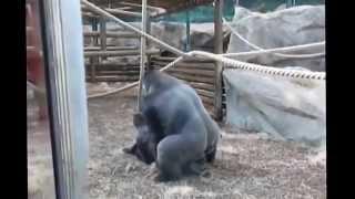 Животные приколы Узнайте все секреты спаривания приматов  Mating primates