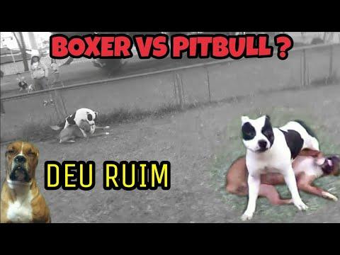SCOOBY arrumou confusão com PITBULL e olha no que deu BOXER VS PITBULL ?