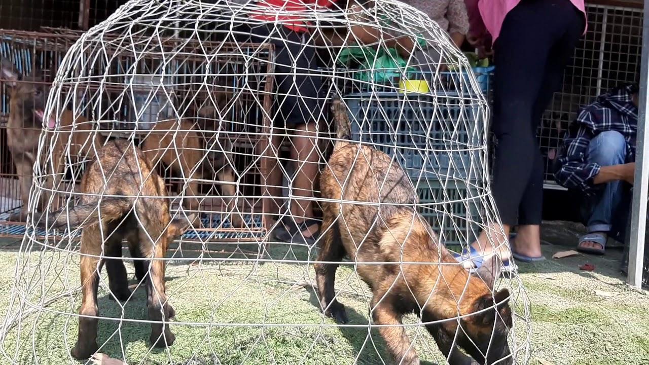 Xuất chuồng bán chó malinois Hồ Chí Minh ae nhận hàng nha