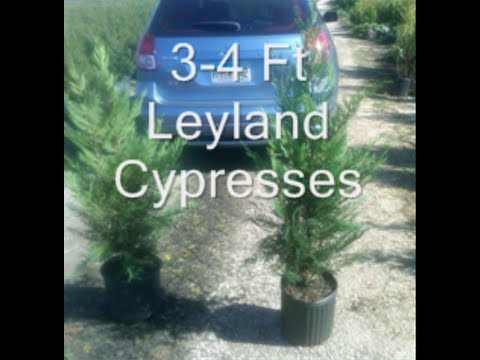 leyland Cypresses for Reading Pa Landscapes Craigslist add backyard Trees