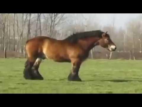 Oh No,,,,,oh Yes Ternyata Begini Cara Kuda Kawin !!!!