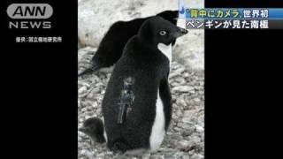 世界初!ペンギンが「撮影」南極・氷の下の世界(11/04/07)