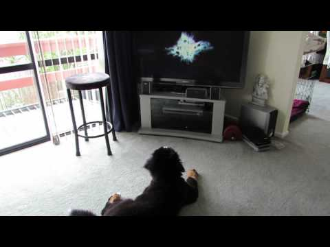 Bernese Mountain Dog scared by TV