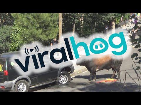 Bull Destroys 4x4 || ViralHog