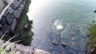 浅瀬で狂った小魚に飛びつく大魚が釣れた!!!