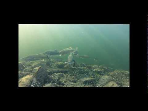 Lake Champlain Lake Trout Shoaling - Nov. 2012