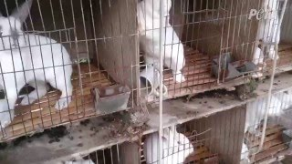 Skinned Alive – Staggering Cruelty in the Rabbit Fur Trade