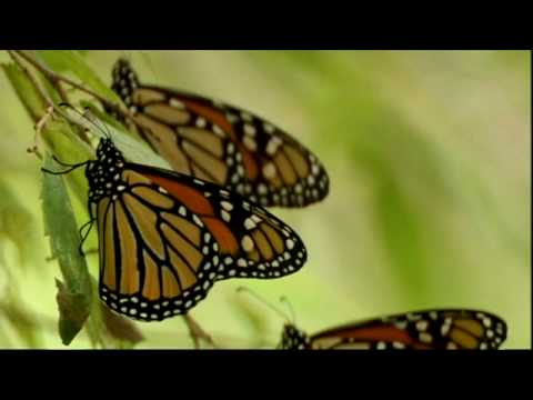 Monarch Migration - Texas Parks and Wildlife [Official]
