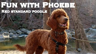 Fun with Phoebe: Take a walk with a 6 month old red standard poodle
