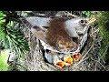 Fieldfare nest / Kwiczoł gniazdo #BIRDS7