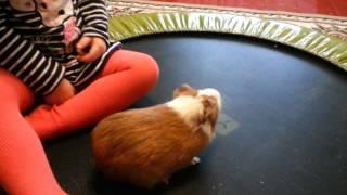 Ужас Кот чуть не съел свинку