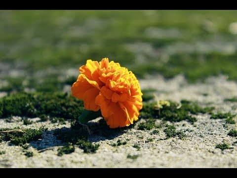 How to make a beautiful and amazing marigold flower with crepe paper.