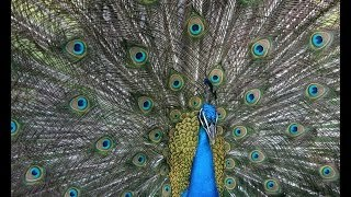 Peacocks make fake mating calls to attract females