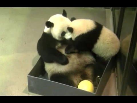 Bei Bei & Mei Xiang Box Battle 5 Raw Footage 6 24 16