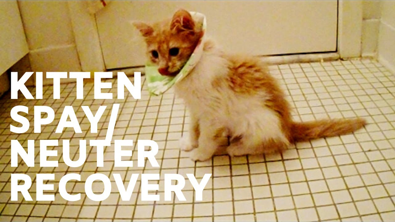 Caring For Cat After Spay Foster Kitten Spay And Neuter Surgery Recovery Youtube