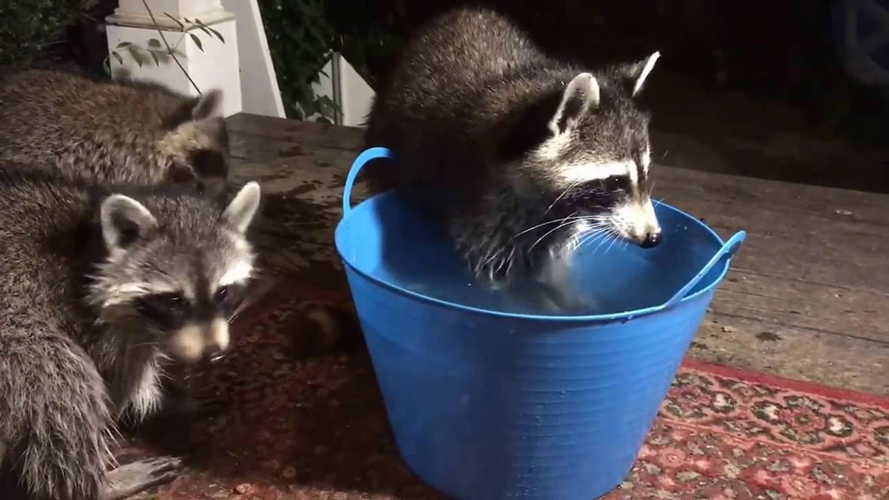 Mommy And Baby Raccoons Washing Food Youtube