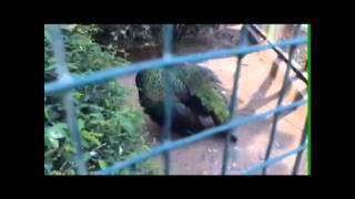 Observasi fauna Burung Merak di Ragunan. Bassama Anisya dan Elfrida Malid, XI IPS 1, SMAN 77 JKT